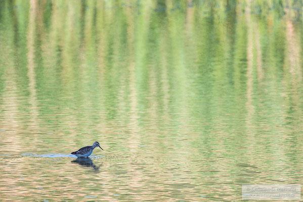 Bruchwasserläufer in einem Teich