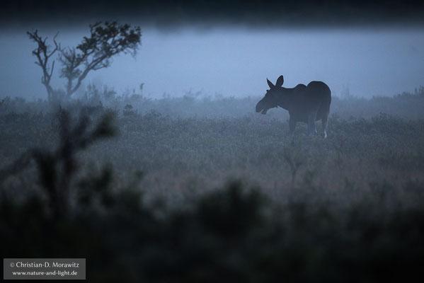 Junger Elchbulle im Nebel