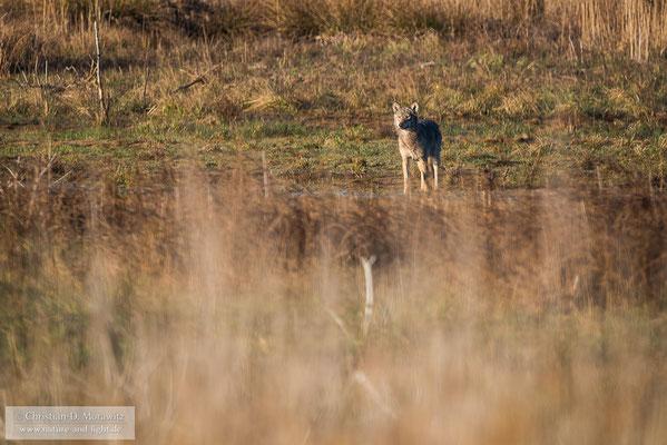 Wolfs in der Morgensonne