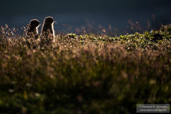 Arktische Ziesel auf der Tundra