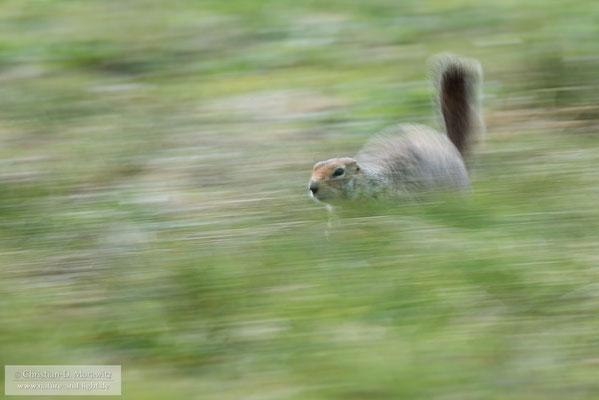 Ein Ziesel rennt über die Tundra
