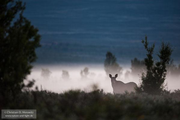 Elch im Nebe der Morgendämmerung
