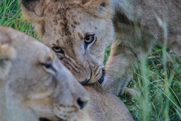 Südafrika: Löwen im Hlane Royal Nationalpark in Swaziland