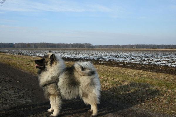 Wolfsspitz Rüde Jake von der Römerroute