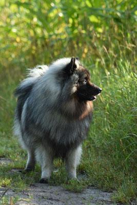 Wolfsspitz Rüde Jake von der Römerroute 2017