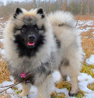 Wolfsspitzbaby Jake von der Römerroute