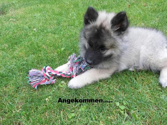 Wolfsspitz Baby Jolly von der Römerroute