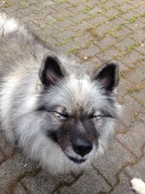 Wolfsspitz Treffen von der Römerroute 2017
