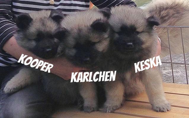 K-Wurf Wolfsspitz Welpen von der Römerroute 2017