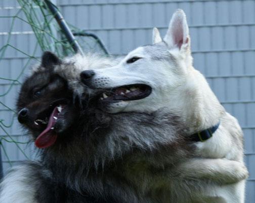 Wolfsspitz Rüde Jake von der Römerroute mit seinem Freund