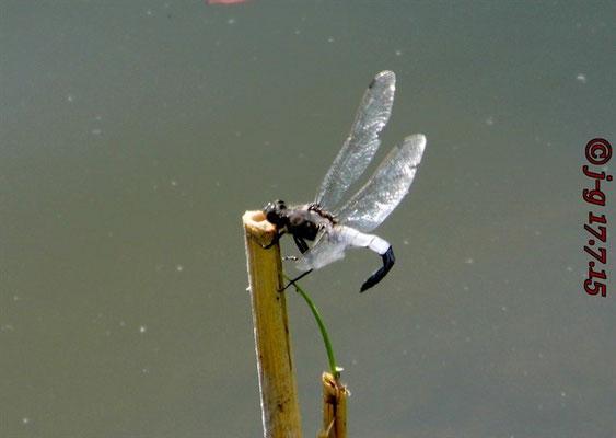 Blaupfeil, Männchen