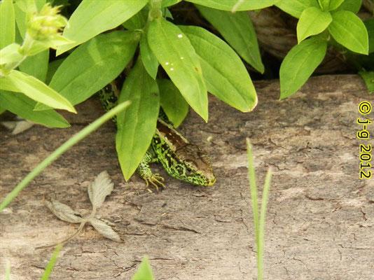 Zauneidechse - Männchen