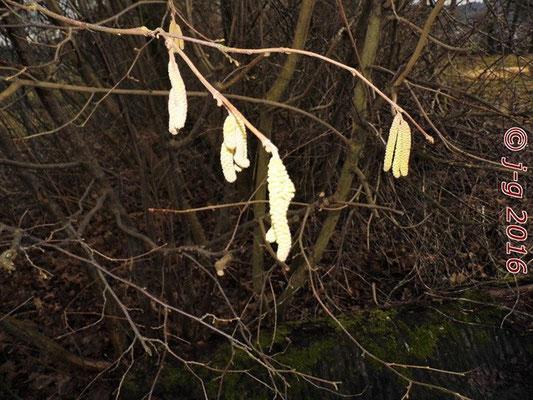 Männliche Haselnusskätzchen - Pollenflug im Januar.
