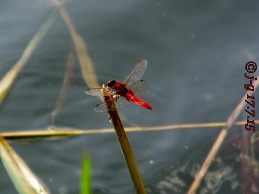 Feuerlibelle, Männchen