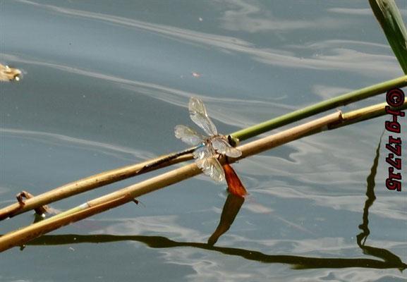 Kleine Königslibelle, Männchen