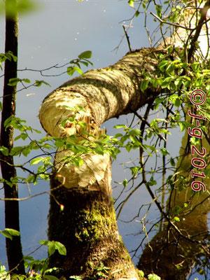 Biber hat am Südufer neuen Baum gefällt.