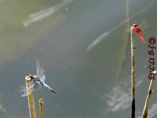 Blaupfeil, Männchen und Feuerlibelle, Männchen