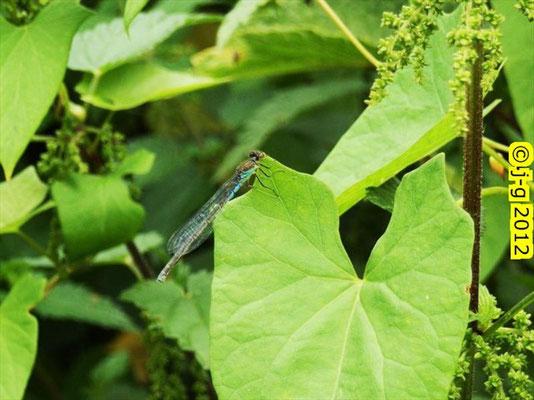 Kleines Granatauge, Weibchen - NSG Biedensand