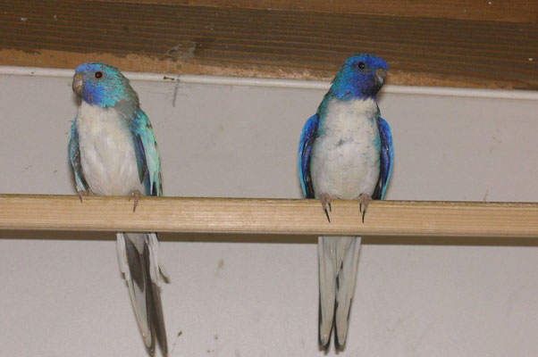 Weißbrustblau & Blauzimt