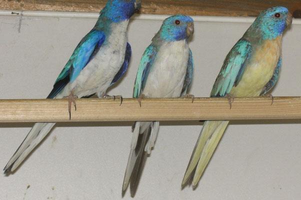 Weißbrustblau, Pastellblau,Blauzimt