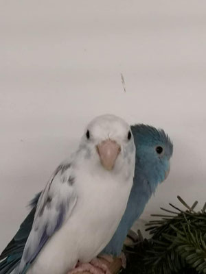 1,0 Kobaltblau x 0,1 Blau