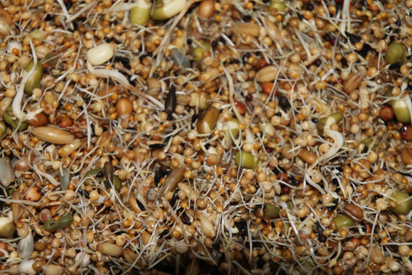 Keimfutter  Neophema - Sperlingspapageien - Exotenkeimfutter gemischt