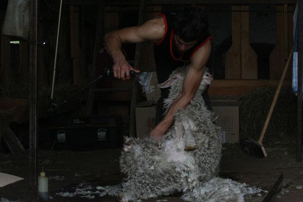La laine est récoltée individuellement puis triée et pesée.