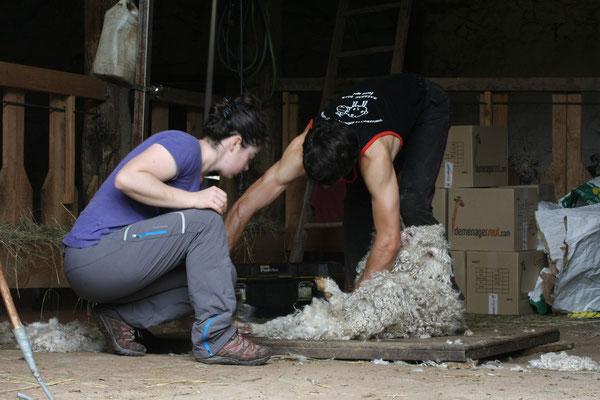 La récolte de la laine est précieuse et le tri commence dés la tonte.