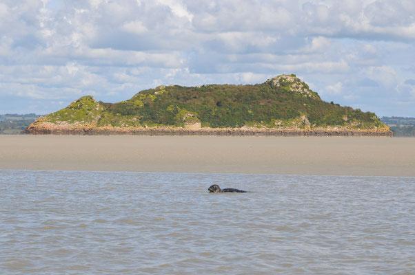 """Phoque veau-marin nommée """"Tombelaine"""" à Tombelaine phoca vitulina Baie du Mont Saint Michel"""