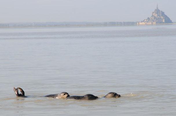 3 jeunes veaux-marins regroupés - phoca vitulina Baie du Mont Saint Michel
