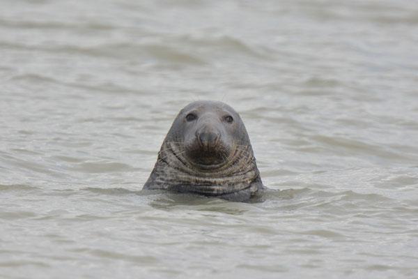 phoque gris bien portant de face halichoerus grypus Baie du Mont Saint Michel