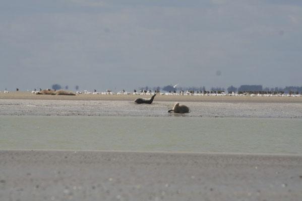 Des veaux marins se reposent sur un banc après la pêche