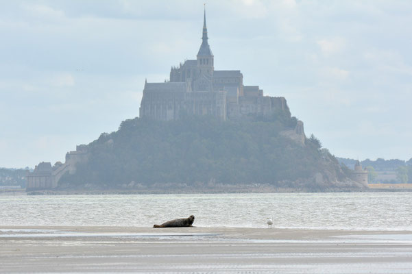 Phoque veau-marin  reposoir devant le Mont Saint Michel phoca vitulina