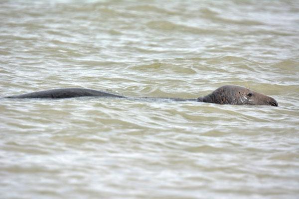 profil phoque gris en flotaison halichoerus grypus Baie du Mont Saint Michel