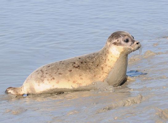 phoque veau-marin jeune hors de l'eau phoca vitulina Baie du Mont Saint Michel