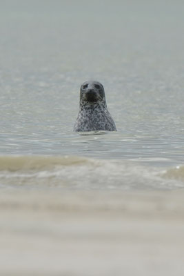 Phoque veau-marin de face curieux seal spy-hoping phoca vitulina Baie du Mont Saint Michel