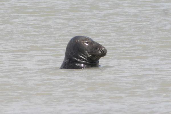 profil phoque gris halichoerus grypus Baie du Mont Saint Michel