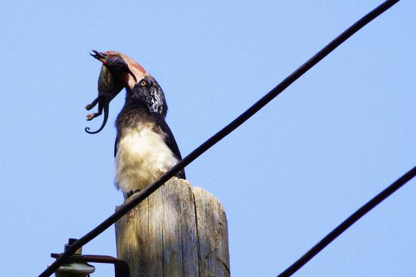 Der Vogel hatte einen guten Tag, das Chamäleon wohl eher nicht! Die Aufnahme dieses Kronentoko mit seiner Jagdbeute wurde auf dem Schulgelände gemacht.