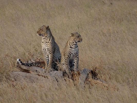 Leopardin mit fast erwachsenen Jungtier in der Serengeti.