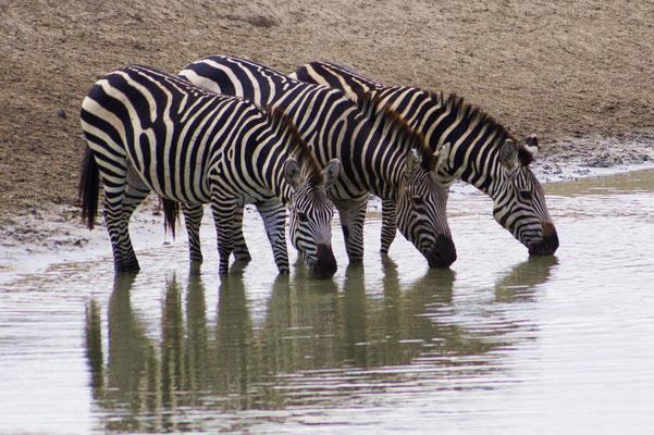 Zebras am Wasserloch. Alle anderen warteten nervös draußen, denn in der Nähe fraßen Löwen gerade ein Gnu zum Frühstück.
