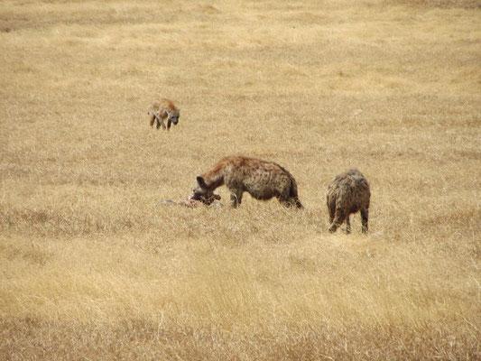 Hyänen beim Fressen im Ngorongorokrater.