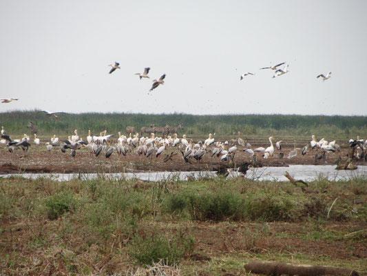 Ein kleiner Ausschnitt der artenreichen Tierwelt am Lake Manyara.