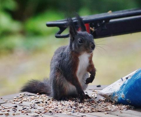 Selbstbedienung eines Eichhörnchens am Vogelfutter auf meinen Terrassentisch.