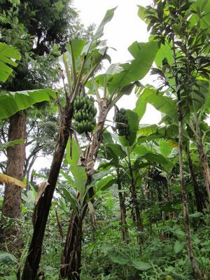 Bananen sind hier ein wichtiger Ernährungsbestandteil. Daher baut hier eigentlich jeder Bananen an.