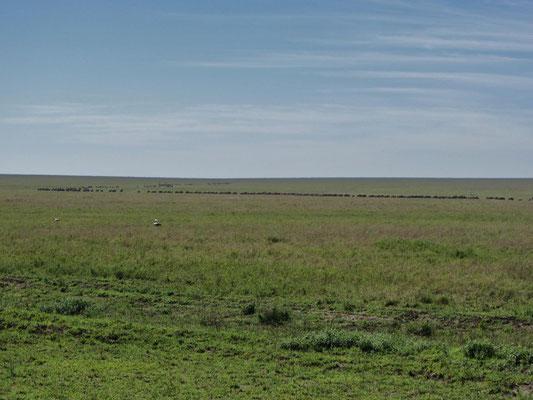Tierwanderung im Serengeti-Nationalpark: Tiere laufend oder weidend ...