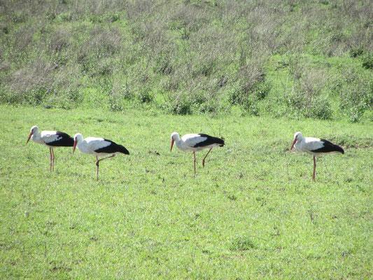 Aus dem winterlichen Europa geflüchtete Weißstörche in der Serengeti.