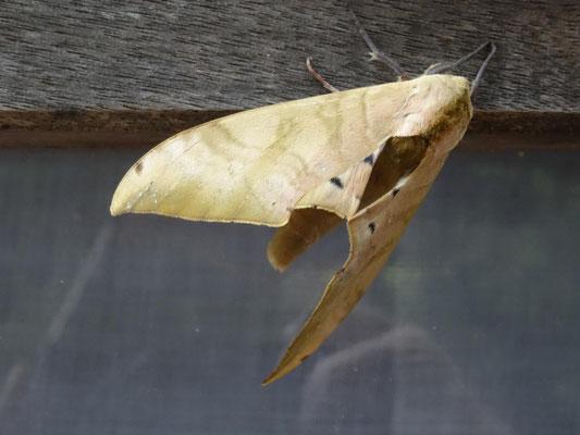 Tolle Tarnung!! Sieht aus wie ein trockenes Blatt, ist aber ein Falter am Fenster meiner Unterkunft.