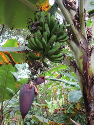 Fruchtstand der Banane.