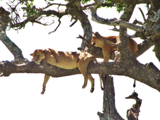 Zwei Löwenweibchen sind auf der Flucht vor den unsagbar vielen, sehr lästigen Fliegen auf einen Baum geklettert.