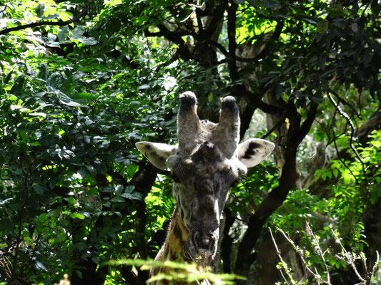 Giraffe beim Fressen im unteren Bergwald des Mt. Meru.